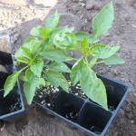 Frugal Gardening:  Plant Buying Tip
