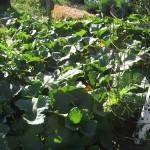 Frugal Gardening Update – First Day of Summer!