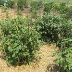 Frugal Gardening:  Where are all the tomatoes?