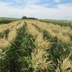 Sweet Corn Harvest {Frugal Gardening Link Up}